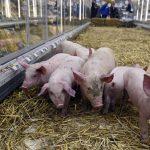 """les prix du jambon devraient augmenter de """"5 à 15%"""" à cause de la peste porcine qui touche la Chine"""