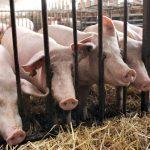 Demande chinoise: La hausse fulgurante du prix du porc risque d'étrangler la filière charcuterie.