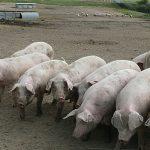 Crise porcine: 40.000 agriculteurs en détresse font appel aux aides d'urgence