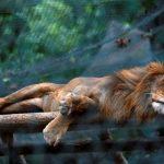 Crise: Venezuela: les animaux des zoos meurent de faim