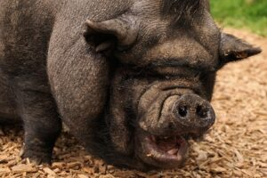 America-The-Pig