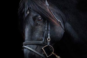Black-Stallion