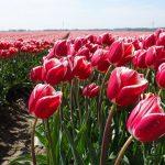 Bitcoin à 10.000 dollars, les bulles et les tulipes