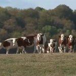 Sécheresse: la détresse des éleveurs