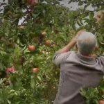 Pouvoir d'achat en baisse: les retraités arrondissent leur fin de mois dans les vergers