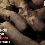 Cochons malades et entassés, nouveau-nés morts au sol… L214 montre l'enfer d'une ferme XXL en Bretagne