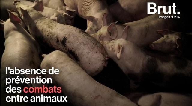 Cochons malades et entassés, nouveau-nés morts au sol… L214 montre l