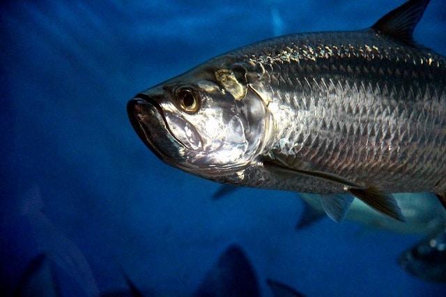 Le très gros poisson dans l'aquarium de l