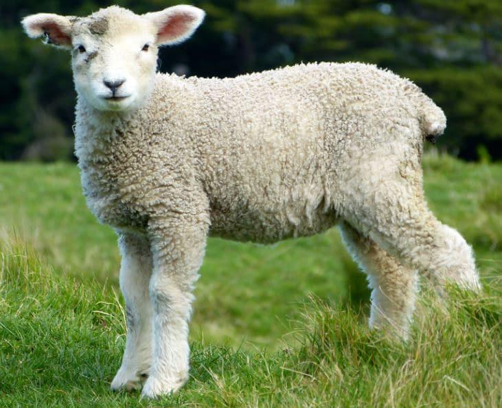 « La grève des moutons… » L'édito de Charles Sannat