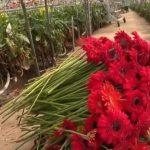 Fleurs: la filière durement touchée par l'épidémie