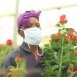 Au Kenya, le coronavirus met la filière d'exportation de roses à genoux