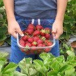 Agriculture, échec total du recrutement de « cueilleurs amateurs »
