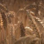 Le cours du blé en France est à la hausse, conséquence d'une chute de plus de 20% de la production !