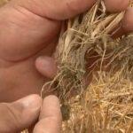 Agriculture: les moissons de blé sont historiquement basses ! C'est l'une des pires récoltes depuis 30 ans !!