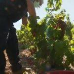 Viticulture: une année noire pour les producteurs