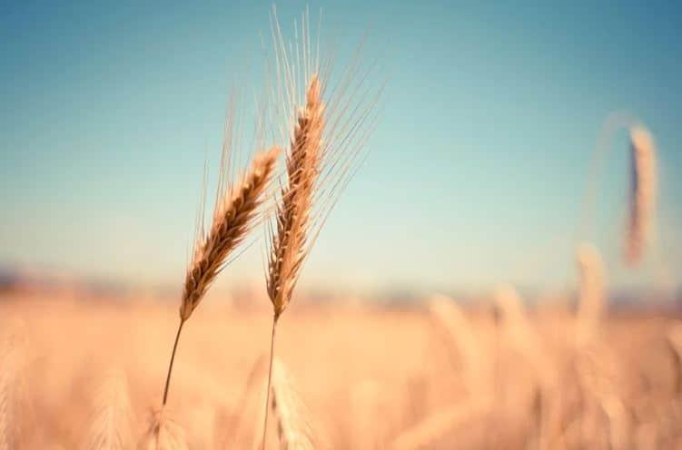 Covid: Les cours du blé s'envolent, les pays stockent massivement