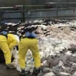 L'horreur au Danemark ! Le massacre des visons, une simple grippette ?